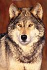 Image courtesy of http://www.all-about-wolves.com